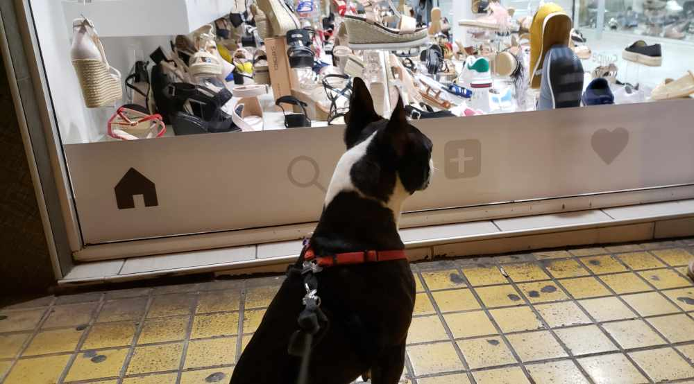 beans the boston terrier looking at the window of a shoe store in nea ionia, athens, greece